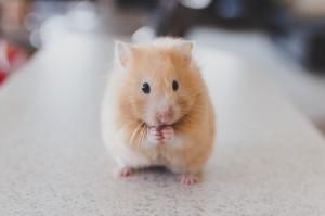 Hamster Haltung - alle Infos