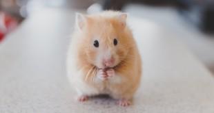 hamster-690108_1280