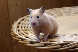 Ist eine Hamster Haltung eine gute Idee?